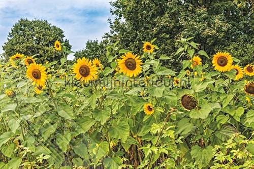 Zonnebloemen fotomurales ML239 Wallpaper Queen Behang Expresse