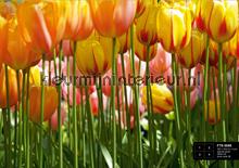 Groeiende tulpen fotomurales AG Design AG Design FTS-0045