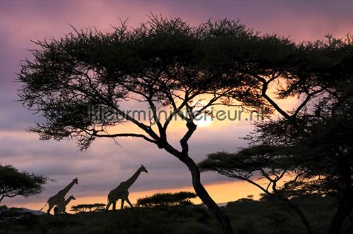 Giraffe At Sunset photomural 470-296 XXL Wallpaper 2 AS Creation