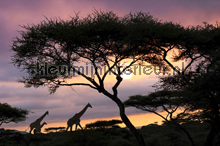 Giraffe At Sunset fotomurali AS Creation XXL Wallpaper 2 470-296