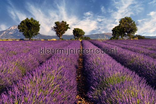 Lavender photomural 470-298 XXL Wallpaper 2 AS Creation