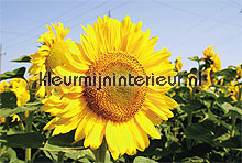 sunflower fotobehang Noordwand Evolutions II 1182