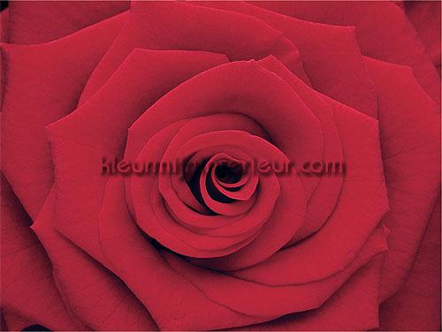 Rose fotobehang 380056 Wallpower mini Eijffinger