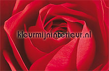 La rose fotobehang Ideal Decor behang