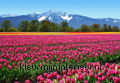 Tulips fotobehang Ideal Decor Ideal-Decor Poster 00137