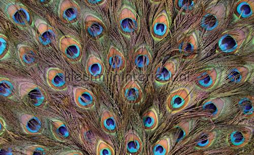 Kleur Mijn Interieur : Peacock feathers fotobehang animals kleurmijninterieur