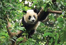 Panda fotobehang Kleurmijninterieur alle afbeeldingen
