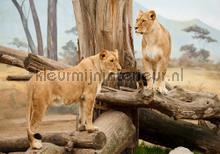 Lionesses fotobehang Kleurmijninterieur Dieren