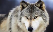 Wolf fotobehang Kleurmijninterieur Dieren