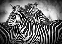Zebra fotobehang Kleurmijninterieur Dieren