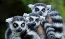 Lemur fotobehang Kleurmijninterieur Dieren