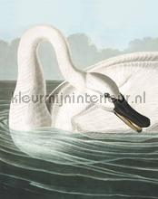 trumpeter swan fotobehang Kek Amsterdam Circles and Panels pa-001