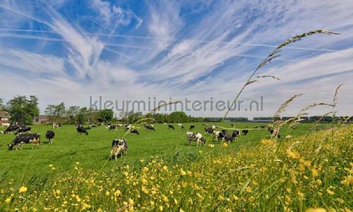 Koeien in de wei photomural 1016 Holland Noordwand
