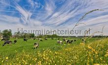 Koeien in de wei fotobehang Noordwand Holland 1016