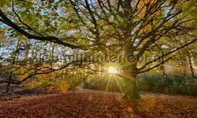 Oude Beukenboom fotobehang Noordwand Holland 2032