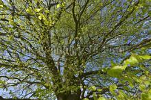 Beukenblad voorjaar fotobehang Noordwand Holland 3354