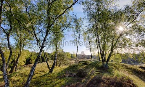 Berkenbossen bij de Mossel photomural 3495 Holland Noordwand