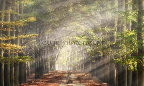 Beukenlaantje in de herfst photomural 4714 Holland Noordwand