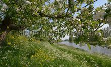Appeldijkje Betuwe photomural Noordwand Holland 5789
