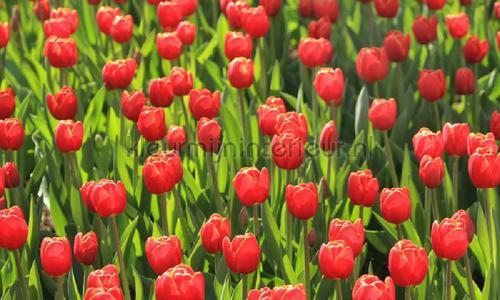 Tulpen rood photomural 6224 Holland Noordwand