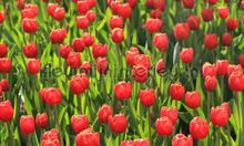 Tulpen rood fotomurales Noordwand Holland 6224