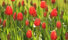 Tulpen rood 2 fotobehang Noordwand Holland 6226