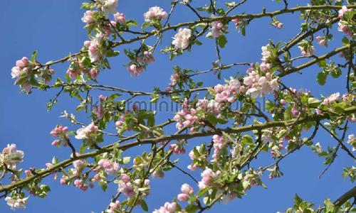 Appelbloesem photomural 7888 Holland Noordwand