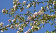 Appelbloesem fotomurali Noordwand Holland 7888