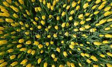 Tulpen geel fotobehang Noordwand Holland 8070