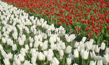 Tulpen wit en rood fotobehang Noordwand Holland 8123