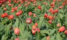 Tulpen rood 3 fotobehang Noordwand Holland 8133