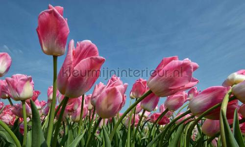 Tulpen rose photomural 8184 Holland Noordwand