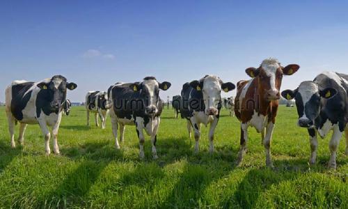 Koeien op een rij photomural 8528 Holland Noordwand