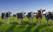 Koeien op een rij fotomurali Noordwand Holland 8528