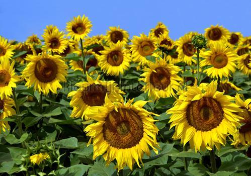 Sunflowers looking at you fototapeten 12602ve-l Landscape Kleurmijninterieur