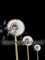 Dandelions on black background fototapeten Kleurmijninterieur alle-bilder