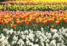 Dutch tulips fotobehang Kleurmijninterieur Bloemen---Planten