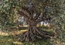 Olive tree fototapeten Komar Wald