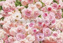 rosa fotomurales Komar Vol 15 8-937