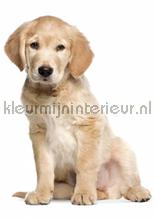 Golden retriever puppy interieurstickers Kek Amsterdam Baby Peuter