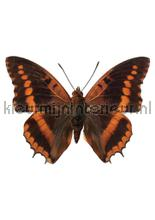 Butterfly 954 interieurstickers Kek Amsterdam meisjes